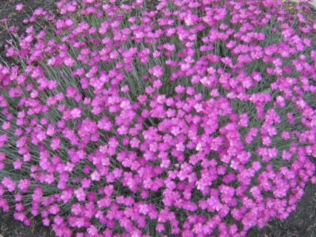 Dianthus gratianopolitanus cheddar pinks for Perennial ground cover with pink flowers