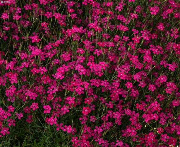 Dianthus deltoides maiden pink red spreading dianthus for Perennial ground cover with pink flowers